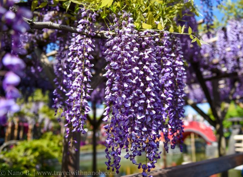 wisteria-in-kameido-tenjin-36