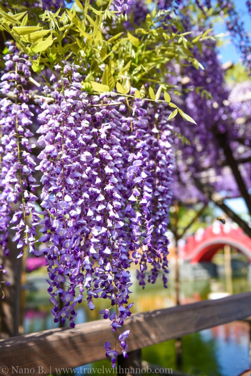 wisteria-in-kameido-tenjin-37