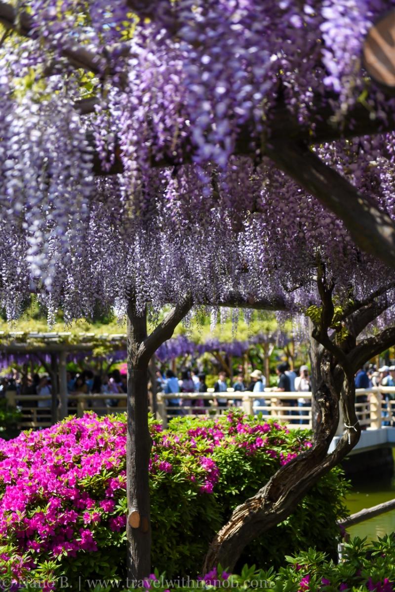 wisteria-in-kameido-tenjin-5