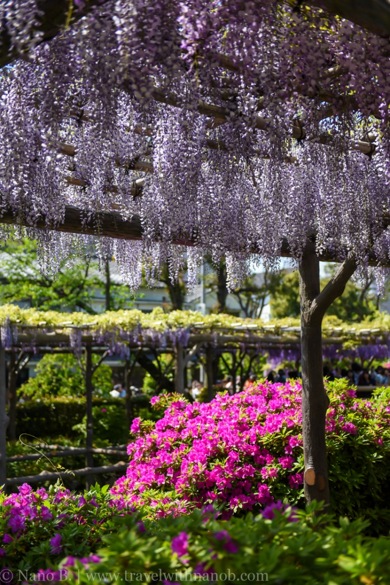 wisteria-in-kameido-tenjin-6