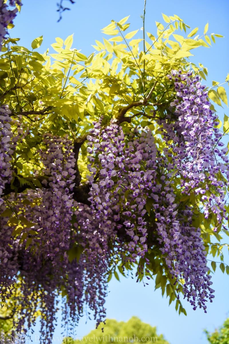 wisteria-in-kameido-tenjin-7