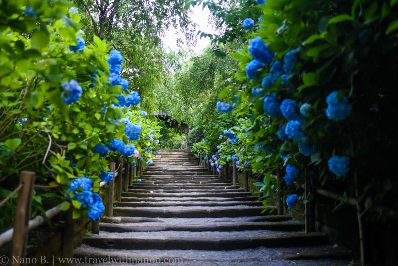 chiba-hydrangea-garden-13