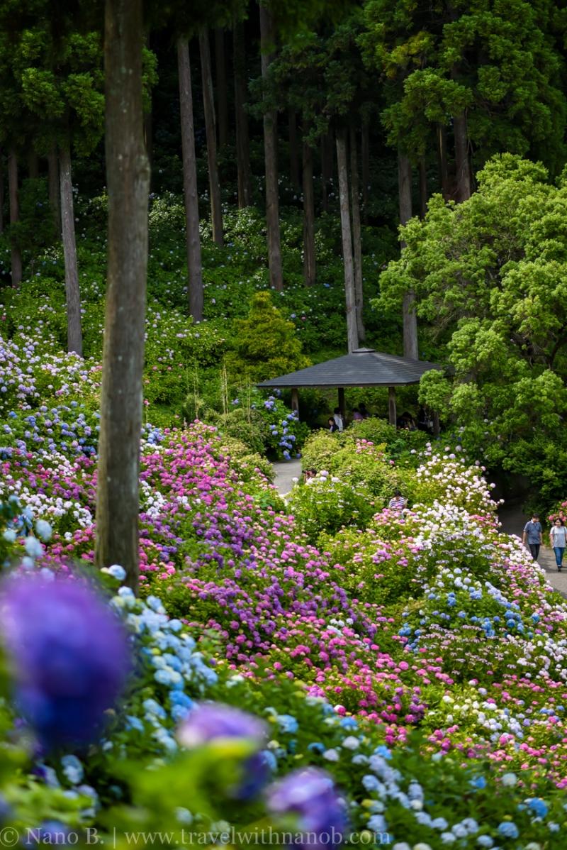 chiba-hydrangea-garden-18
