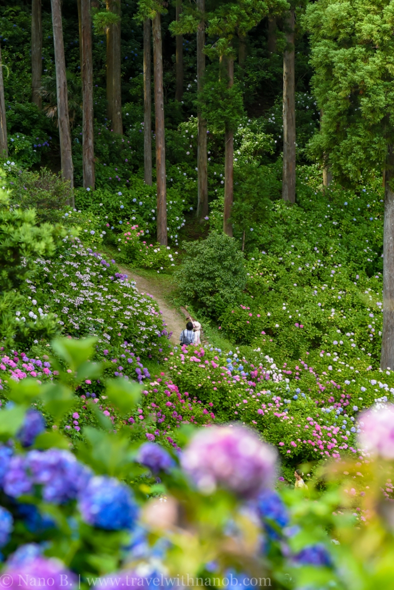 chiba-hydrangea-garden-19