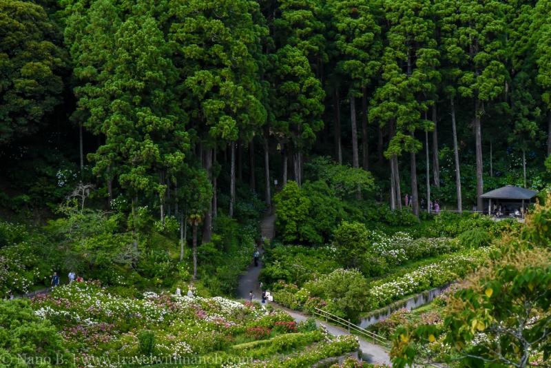 chiba-hydrangea-garden-20