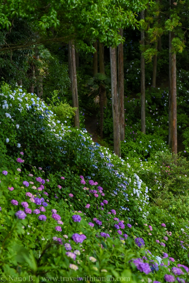 chiba-hydrangea-garden-22