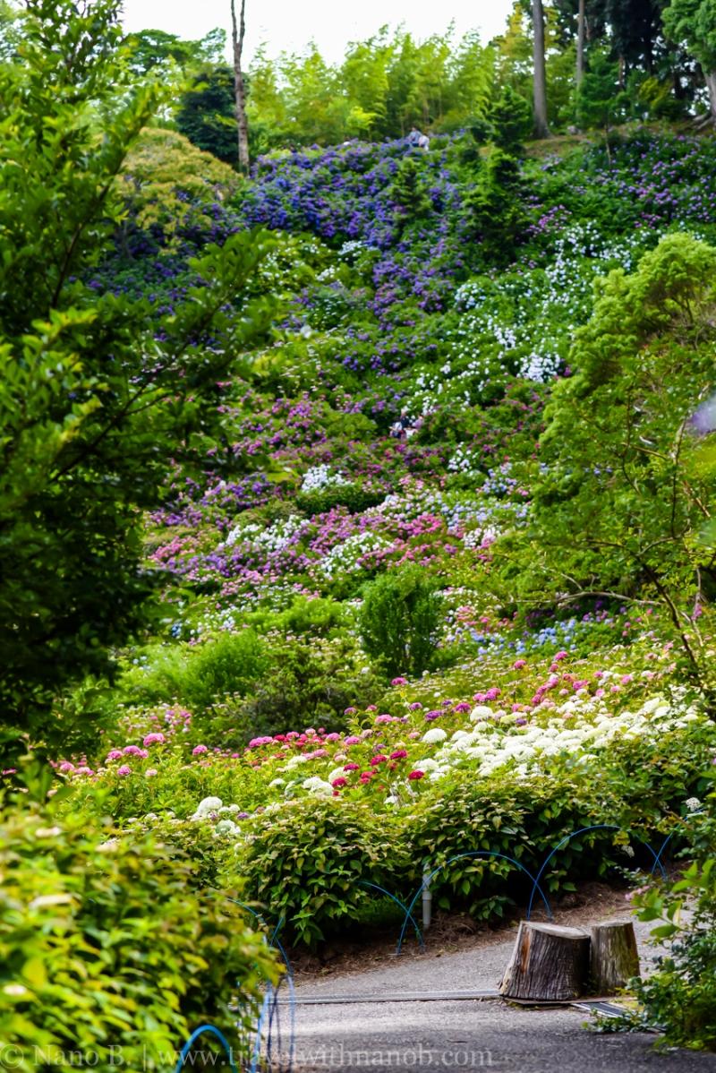 chiba-hydrangea-garden-30