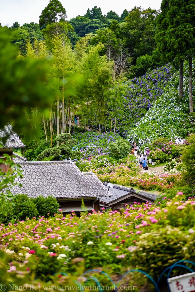 chiba-hydrangea-garden-33