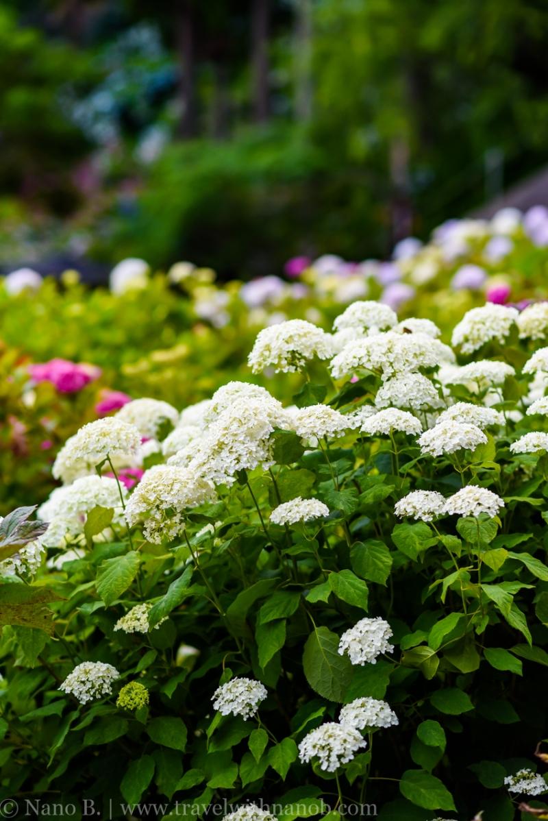chiba-hydrangea-garden-35