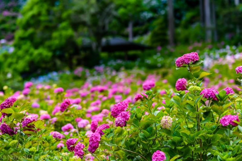 chiba-hydrangea-garden-39