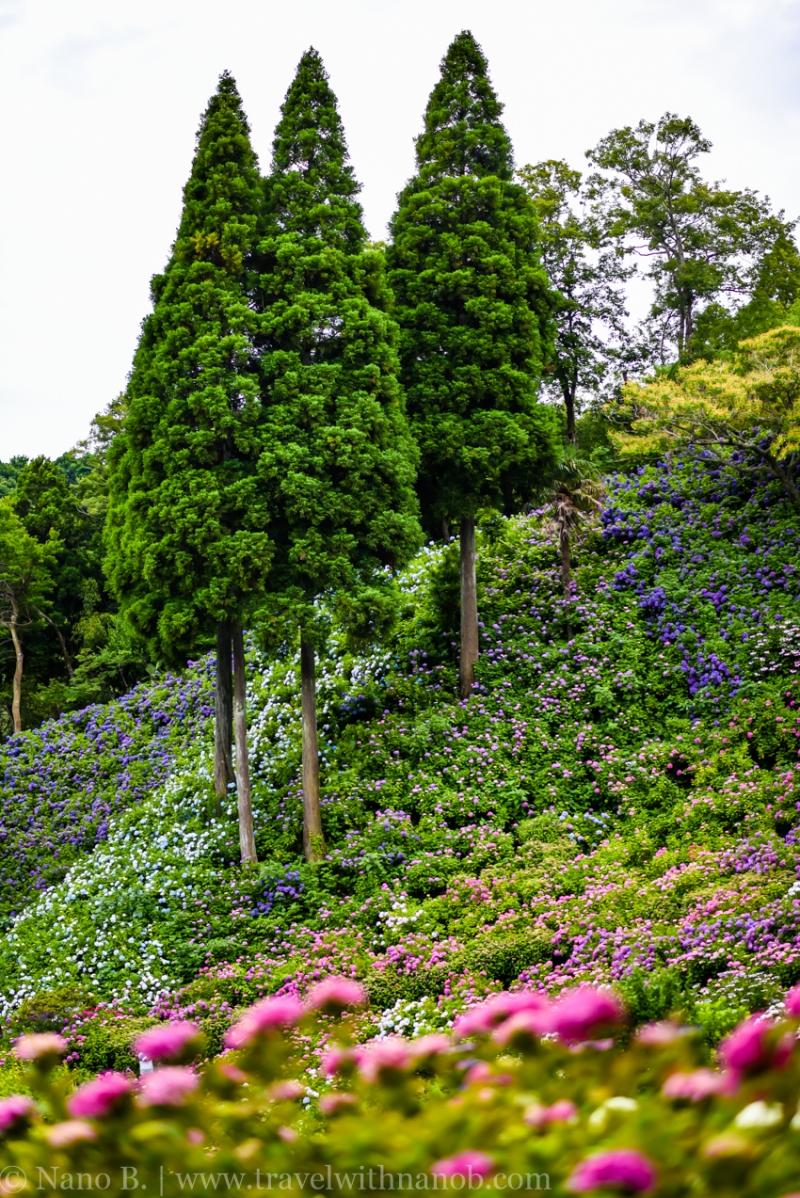 chiba-hydrangea-garden-44