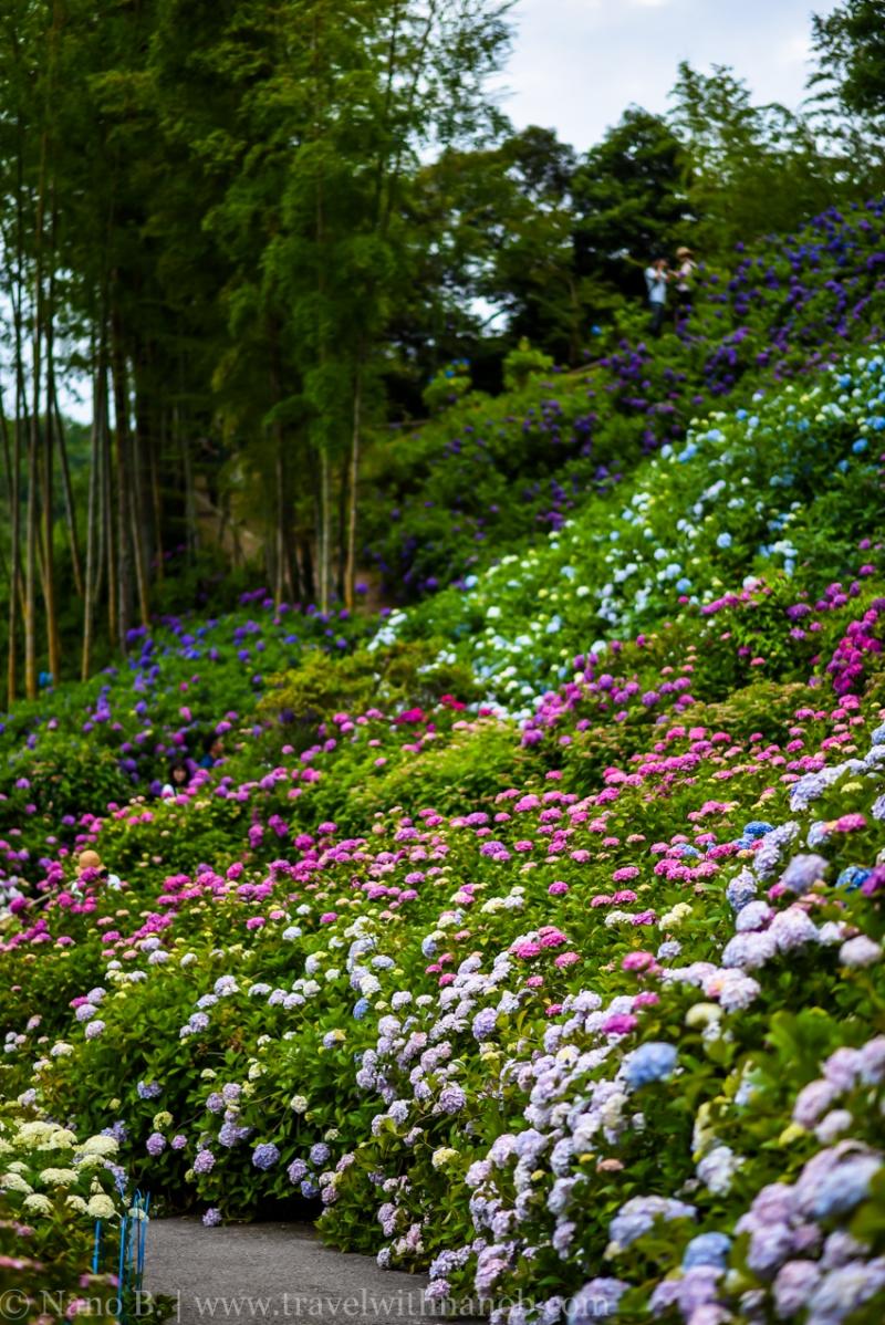 chiba-hydrangea-garden-46