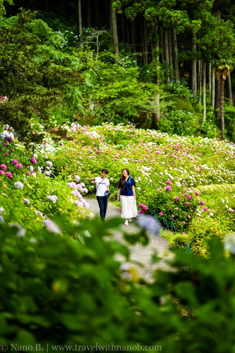 chiba-hydrangea-garden-48