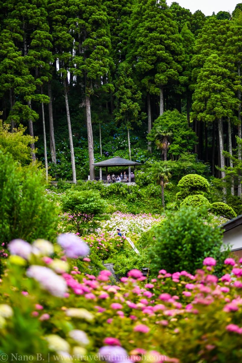 chiba-hydrangea-garden-51