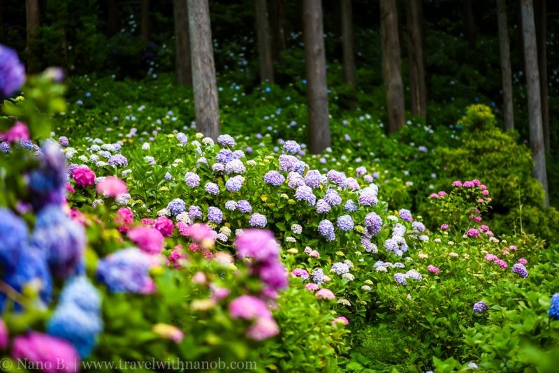 chiba-hydrangea-garden-52