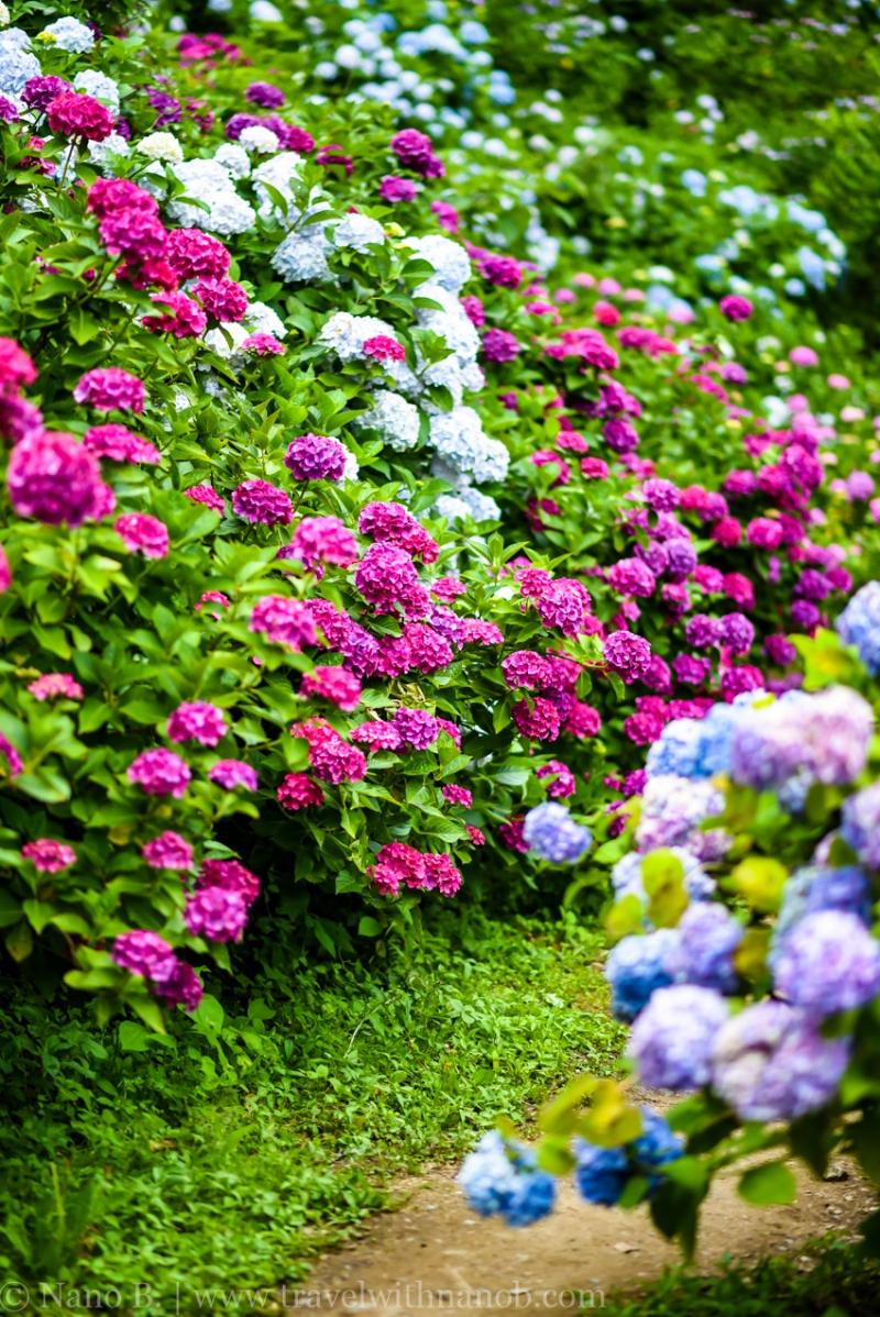 chiba-hydrangea-garden-53