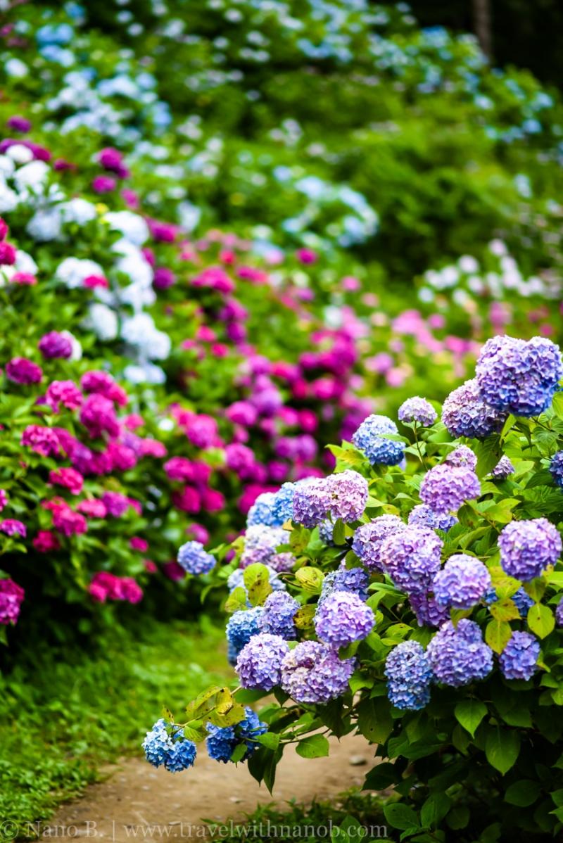 chiba-hydrangea-garden-54