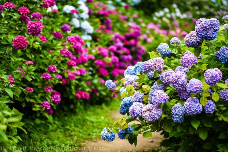 chiba-hydrangea-garden-55