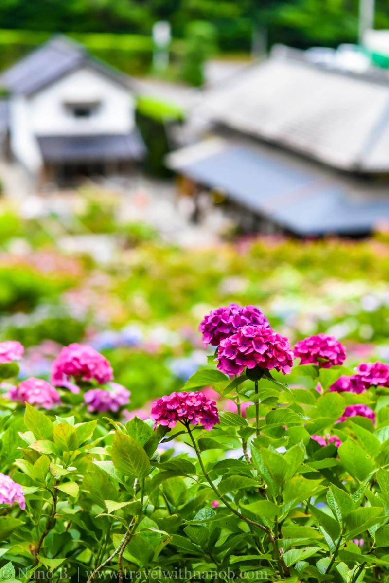 chiba-hydrangea-garden-58