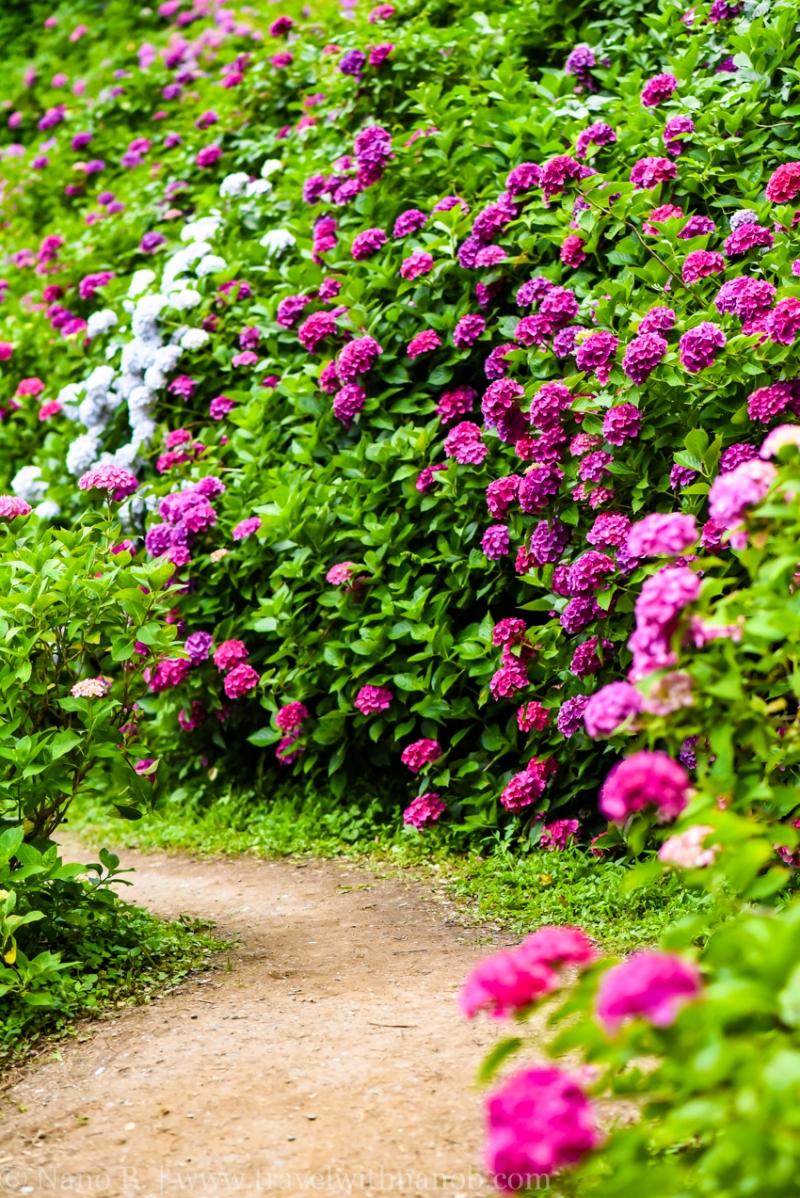 chiba-hydrangea-garden-59