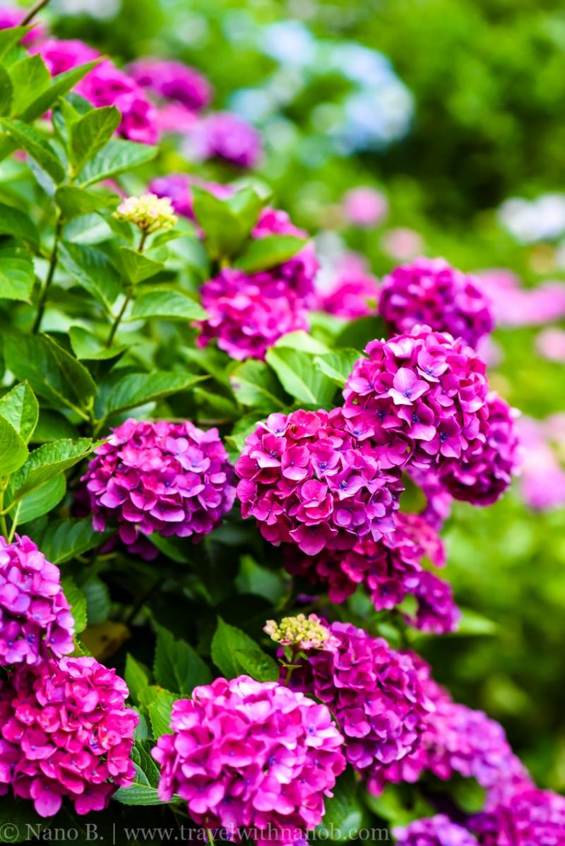 chiba-hydrangea-garden-62