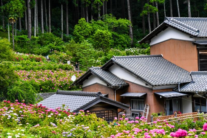 chiba-hydrangea-garden-64
