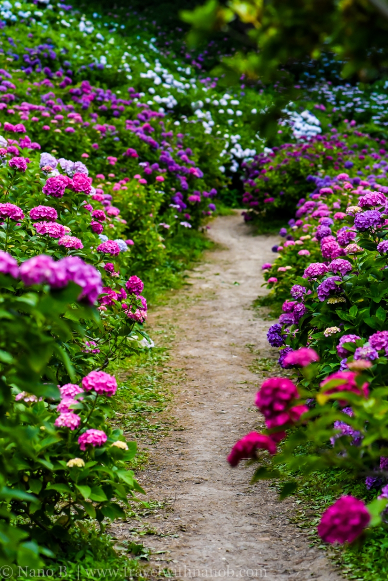 chiba-hydrangea-garden-65