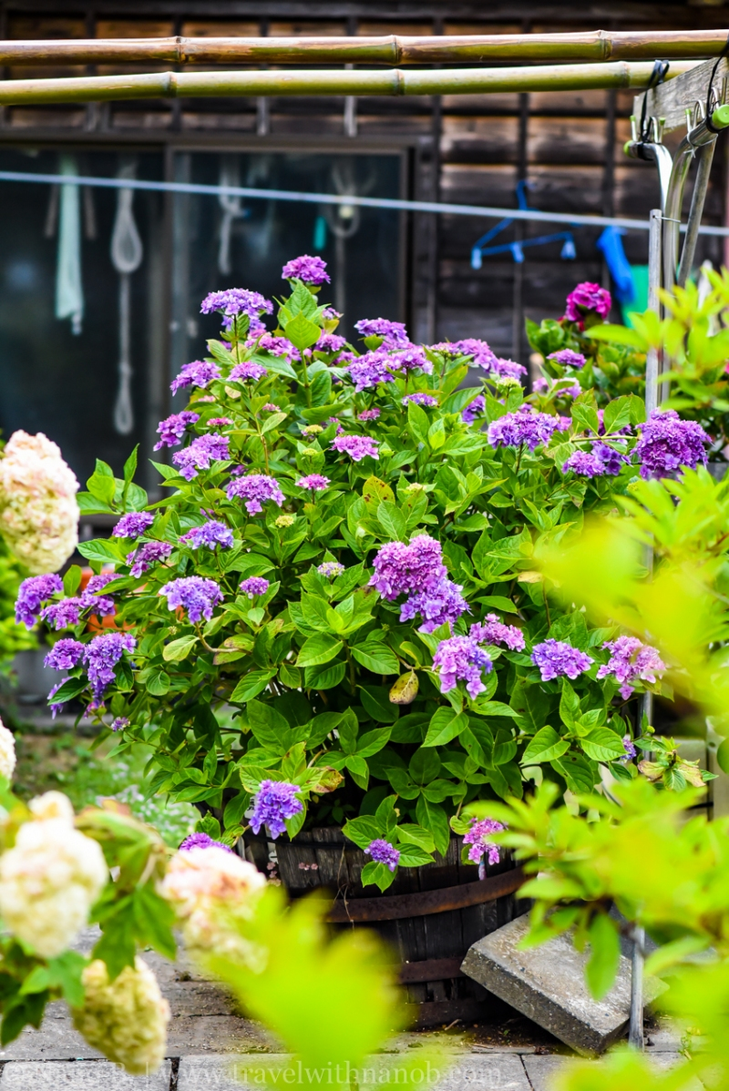 chiba-hydrangea-garden-69