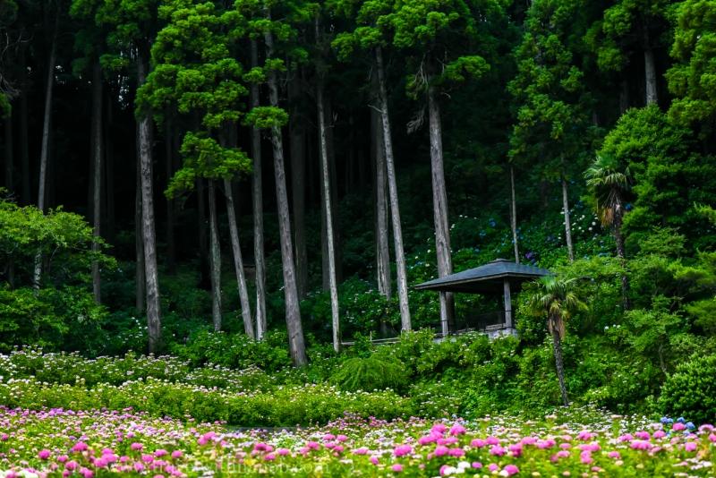chiba-hydrangea-garden-72