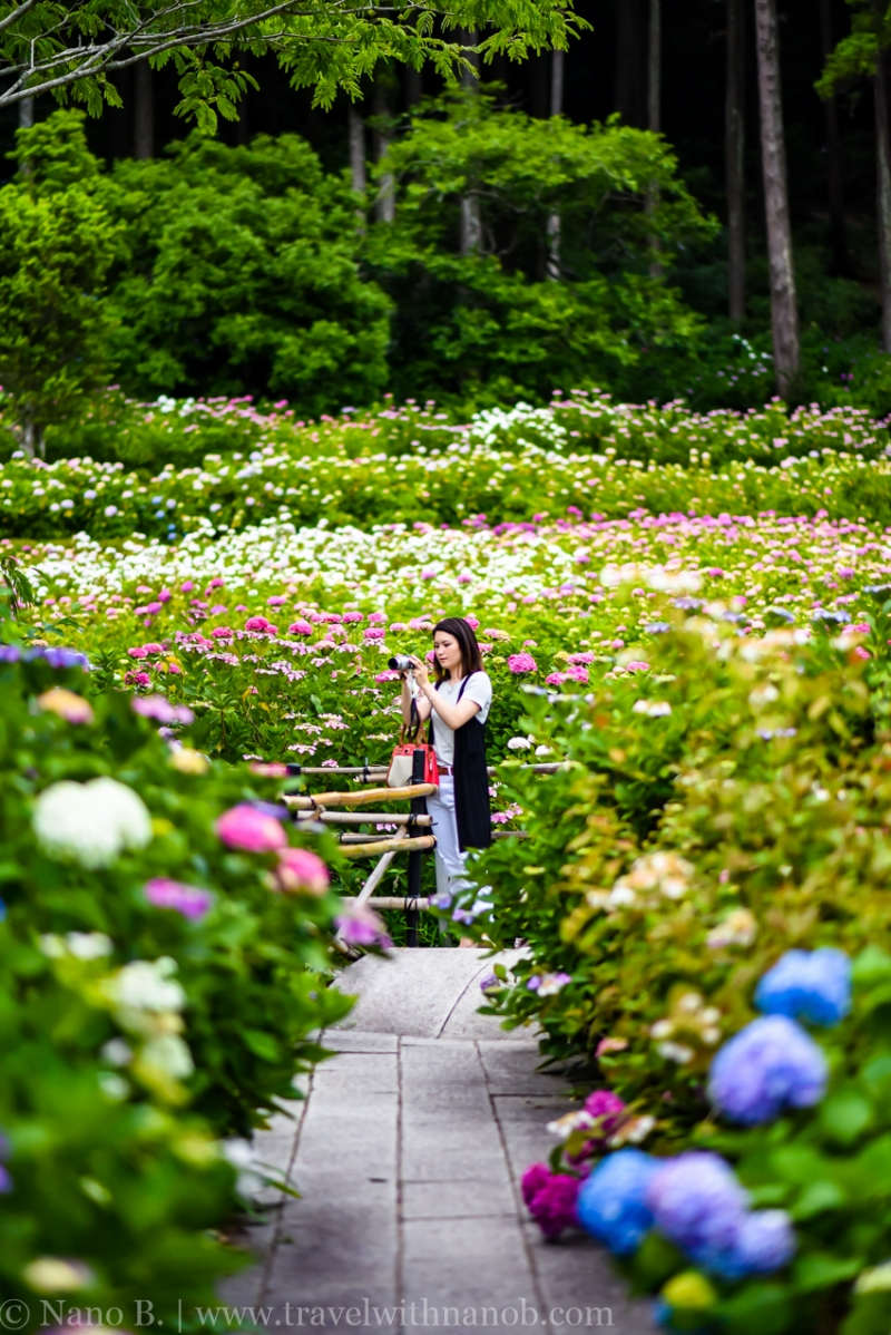 chiba-hydrangea-garden-73