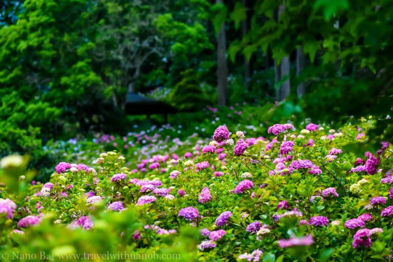 chiba-hydrangea-garden-75