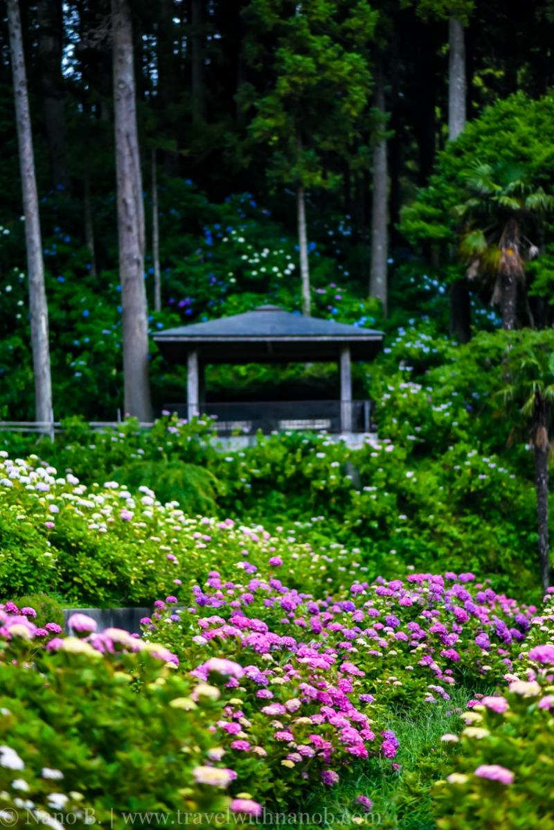 chiba-hydrangea-garden-78