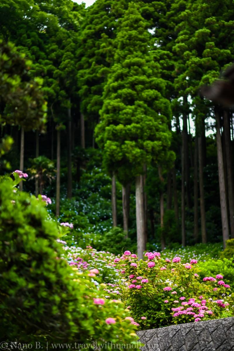 chiba-hydrangea-garden-80
