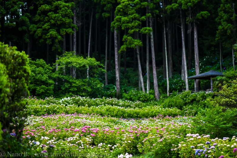 chiba-hydrangea-garden-82
