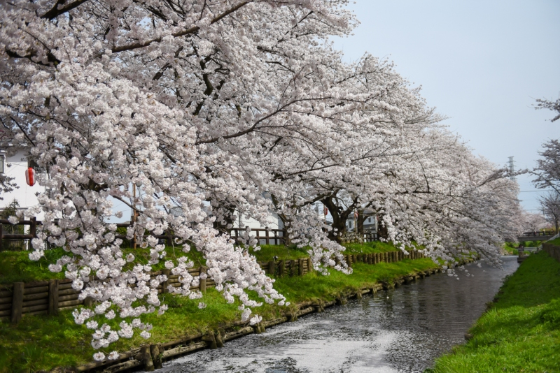 Kawagoe-Cherry-Blossom-17