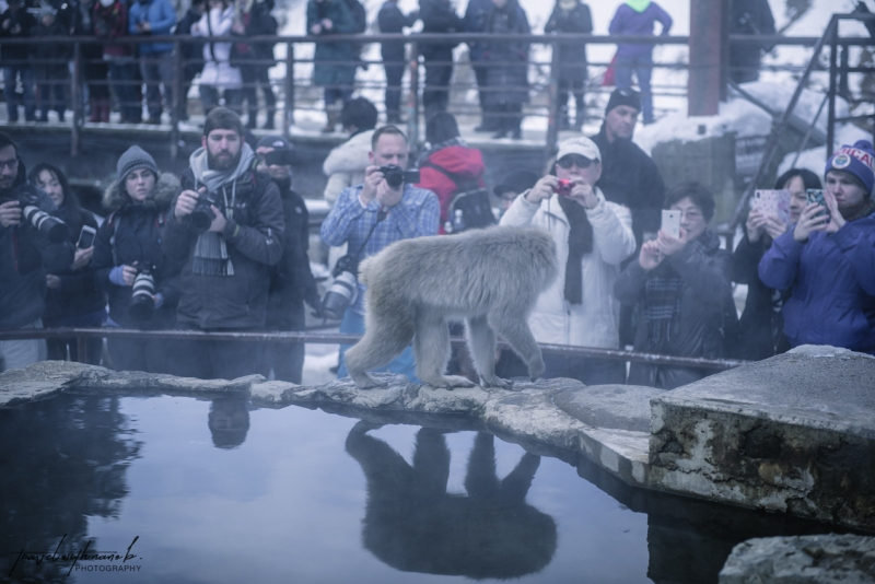 japanese-snow-monkeys-jigokudani-nagano-12