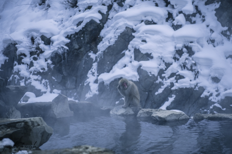 japanese-snow-monkeys-jigokudani-nagano-13