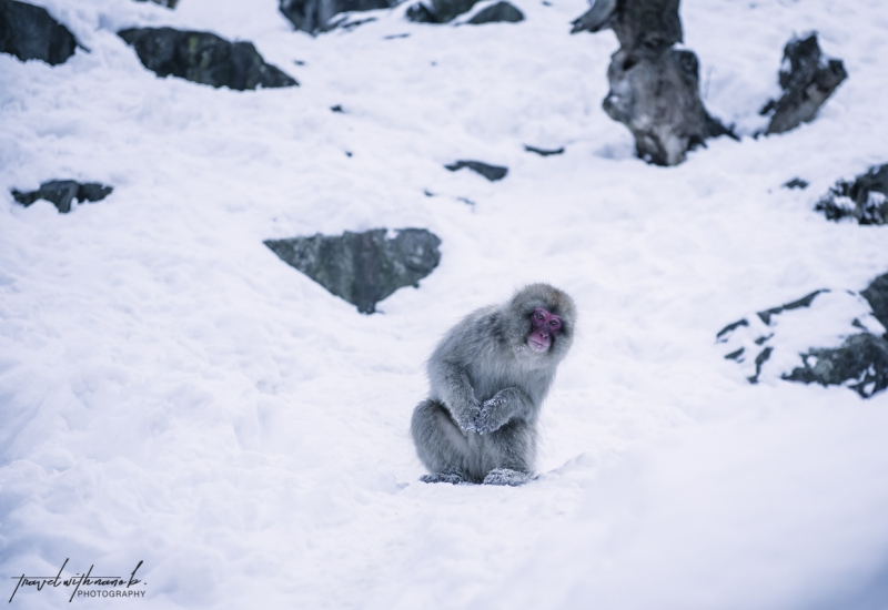 japanese-snow-monkeys-jigokudani-nagano-16