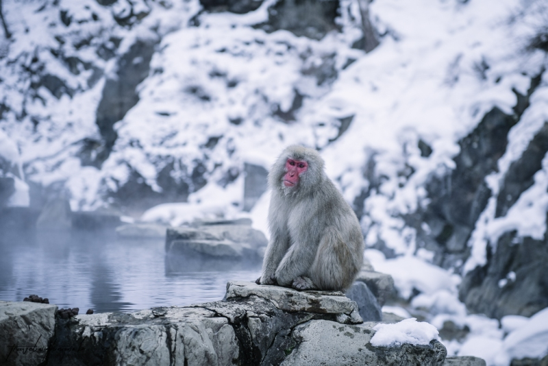 japanese-snow-monkeys-jigokudani-nagano-31