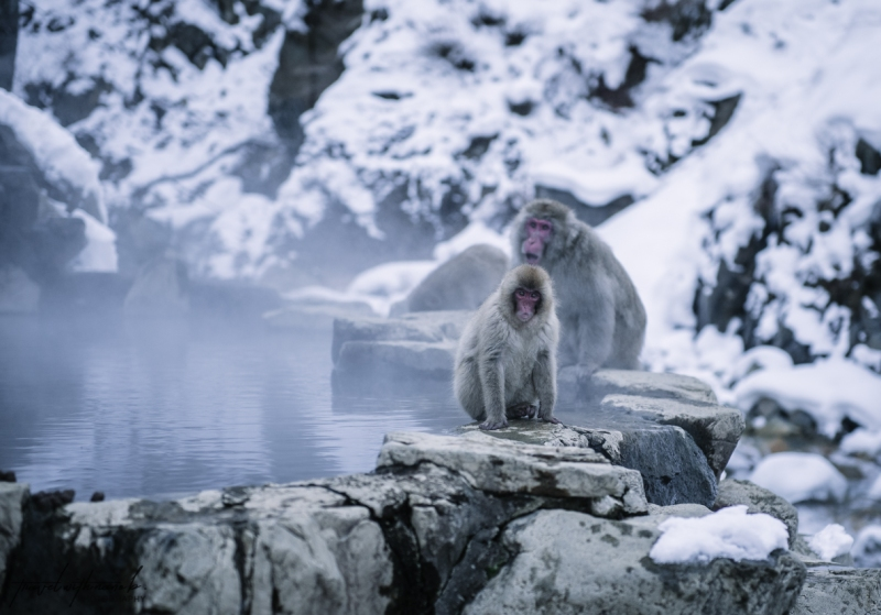 japanese-snow-monkeys-jigokudani-nagano-32