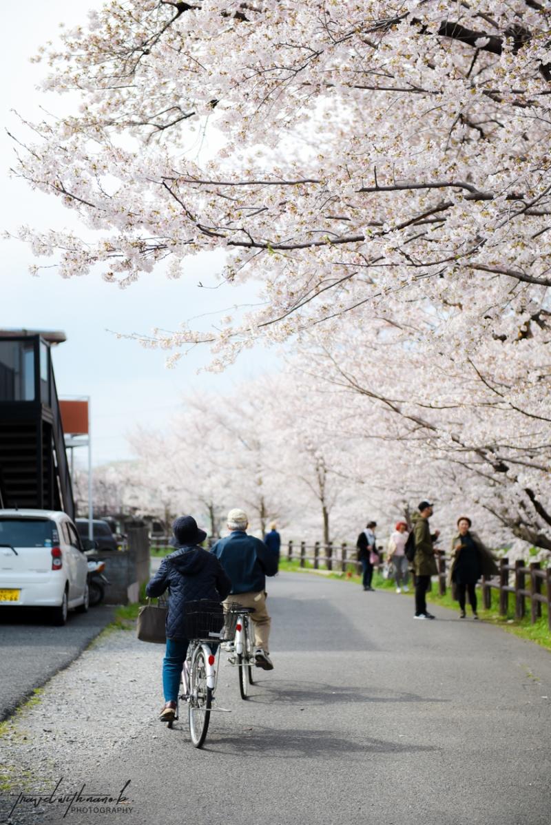tokyo-best-cherry-blossom-spots-14