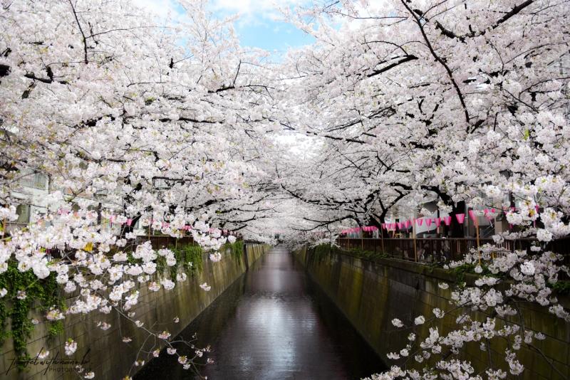 tokyo-best-cherry-blossom-spots-16