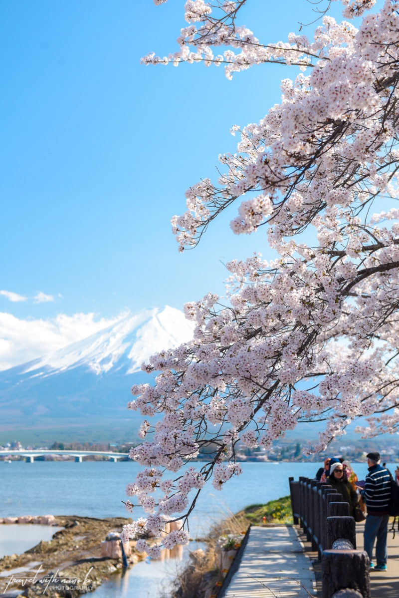 cherry-blossoms-mt-fuji-japan-24