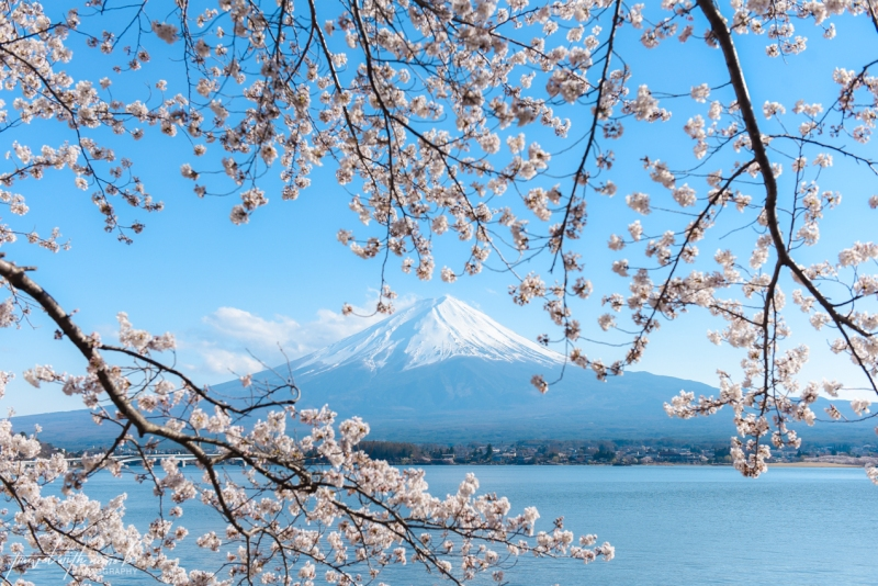 cherry-blossoms-mt-fuji-japan-26