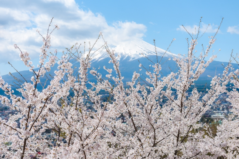 cherry-blossoms-mt-fuji-japan-4