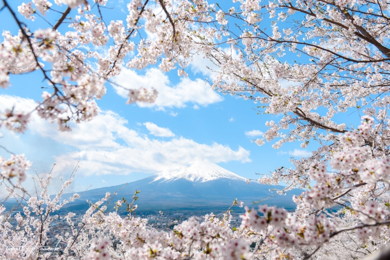 cherry-blossoms-mt-fuji-japan-6