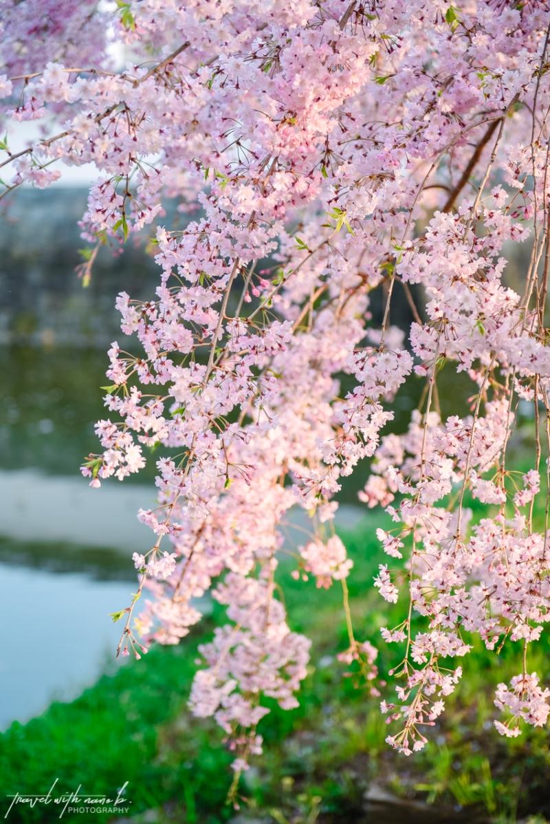 cherry-blossoms-odawara-11