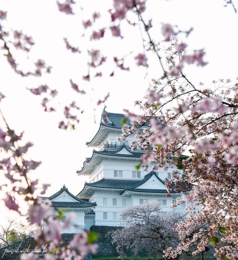 cherry-blossoms-odawara-13