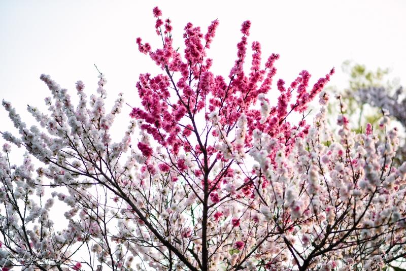 cherry-blossoms-odawara-17