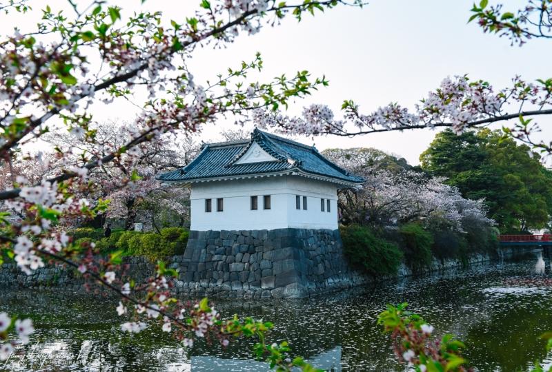 cherry-blossoms-odawara-8